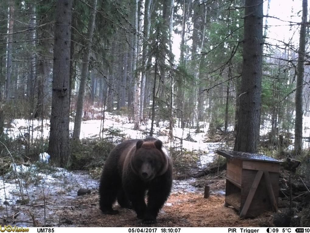 Riistakamera kuva karhu